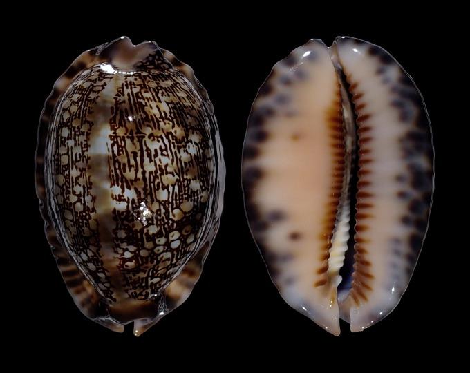 Image of Mauritia arabica