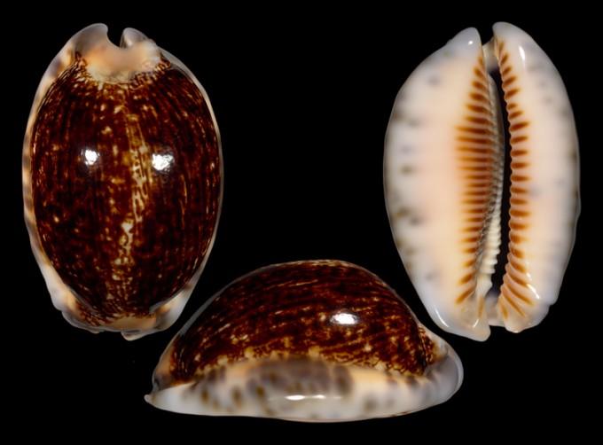 Picture of Mauritia arabica arabica