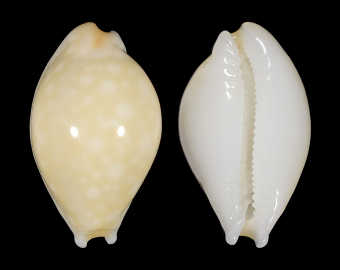 Picture of Cryptocypraea dillwyni