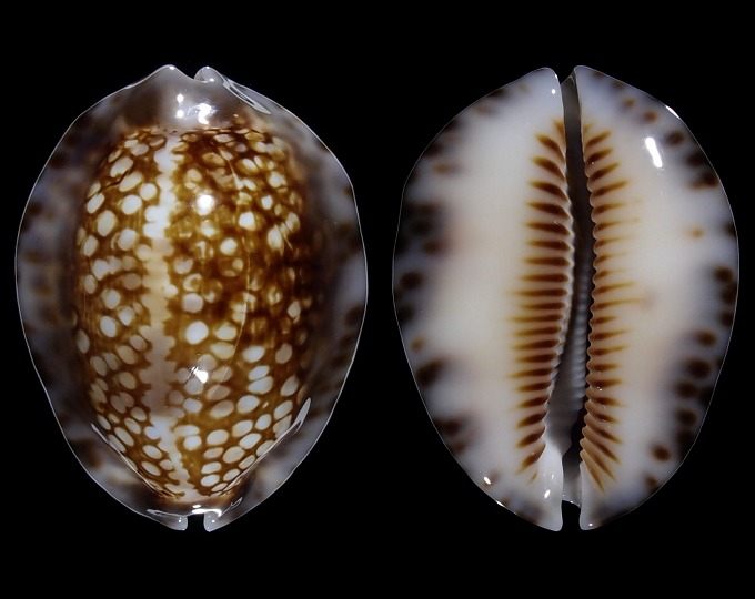 Image of Mauritia depressa dispersa