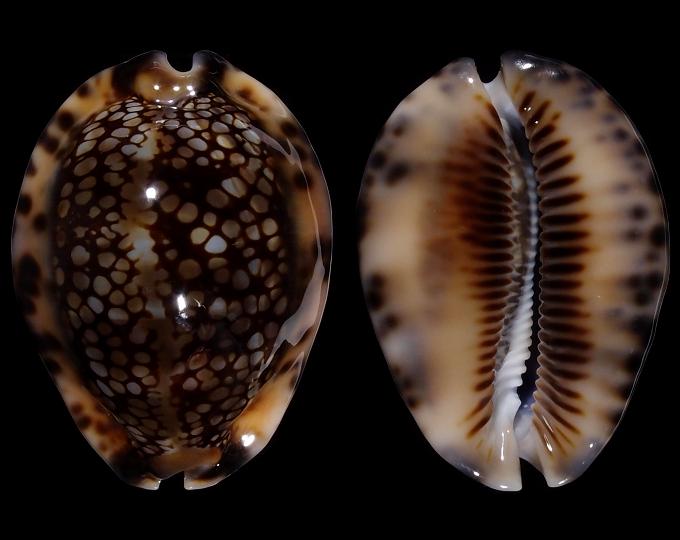 Image of Mauritia maculifera martybealsi