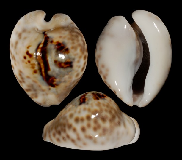 Picture of Barycypraea teulerei