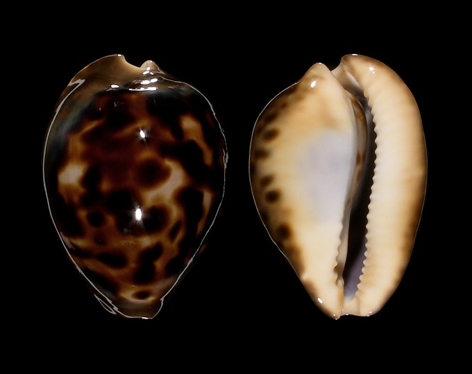Image of Zoila venusta episema f. sorrentensis