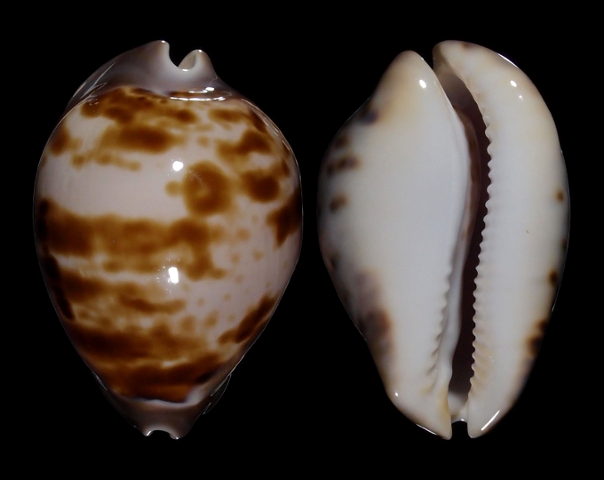 Image of Zoila venusta roseopunctata