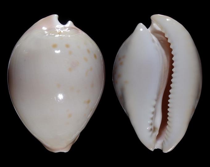 Image of Zoila venusta roseopunctata var.