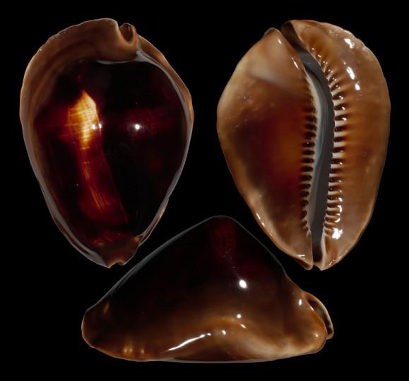 Picture of Zoila edingeri f. satiata