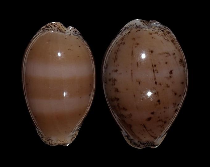 Image of Luria cinerea cinerea