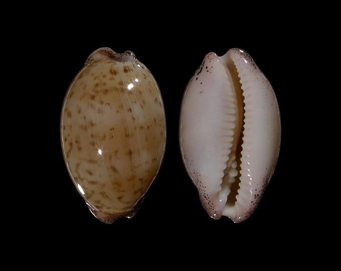 Image of Luria cinerea brasilensis