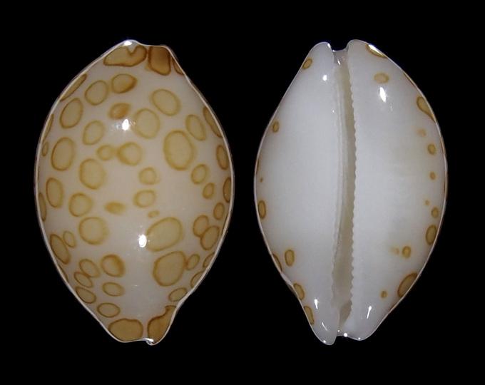 Image of Annepona mariae