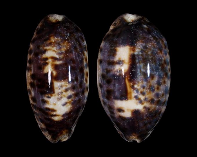 Picture of Chelycypraea testudinaria