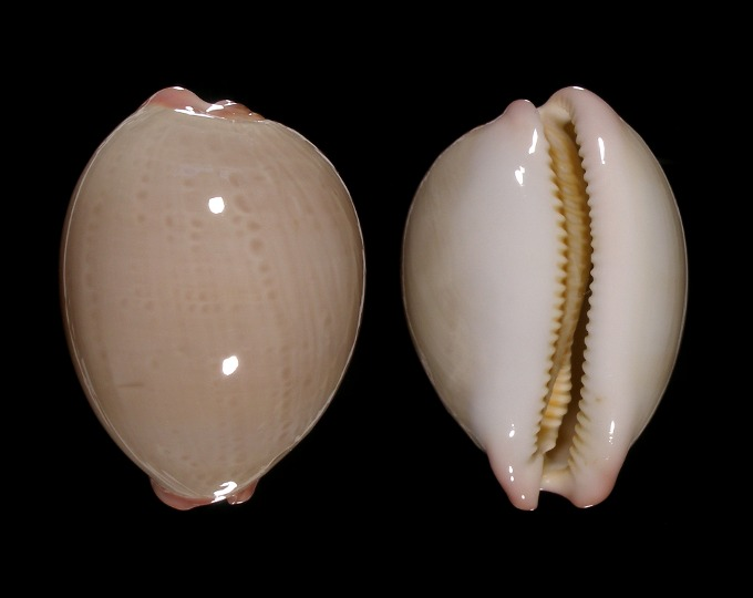 Image of Austrocypraea reevei