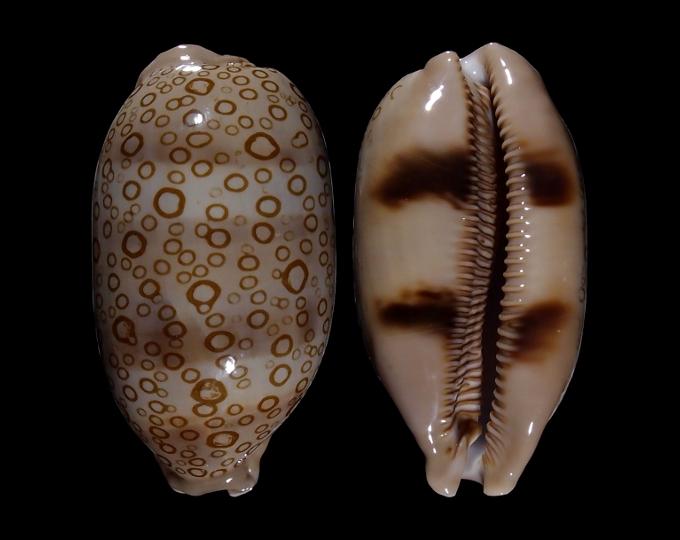 Image of Arestorides argus argus f. ventricosa