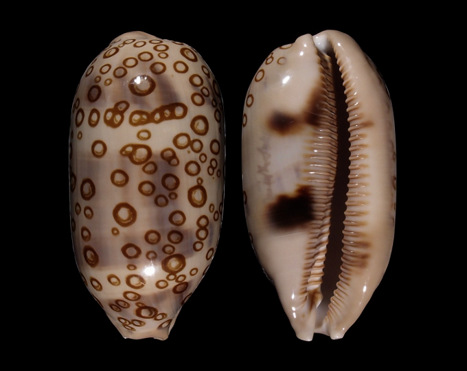 Image of Arestorides argus contracasta