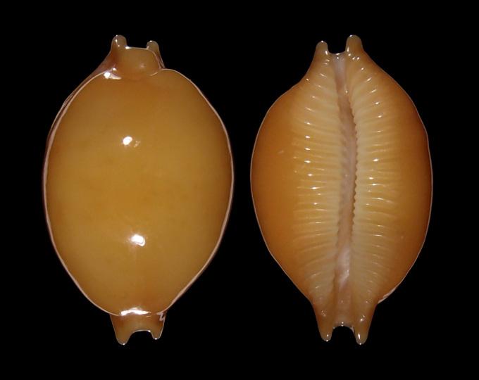 Picture of Pustularia globulus globulus