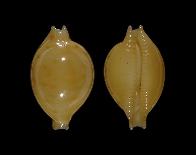 Pustularia marerubra - Lorenz, 2009 Im190-2-18
