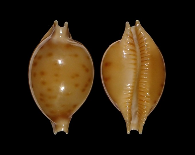 Image of Pustularia marerubra