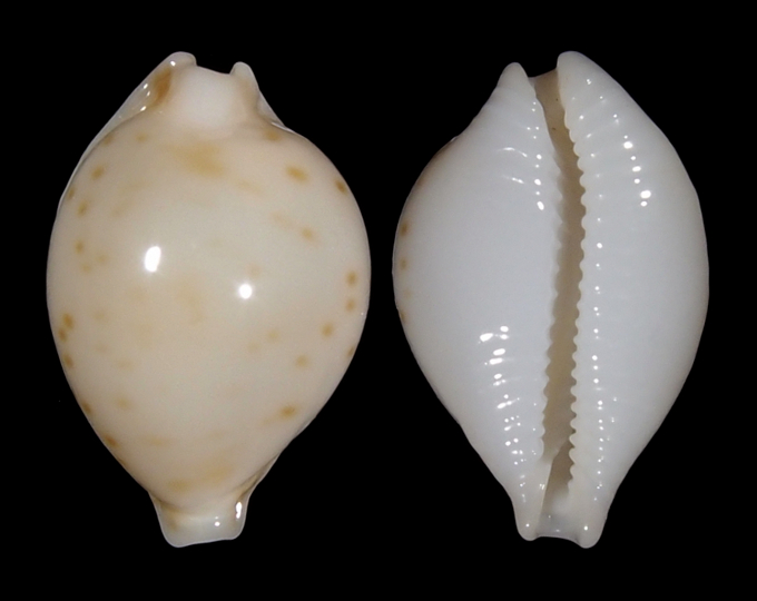 Image of Pustularia mauiensis mauiensis