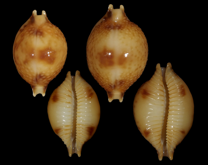 Picture of Pustularia bistrinotata bistrinotata f. samarensis