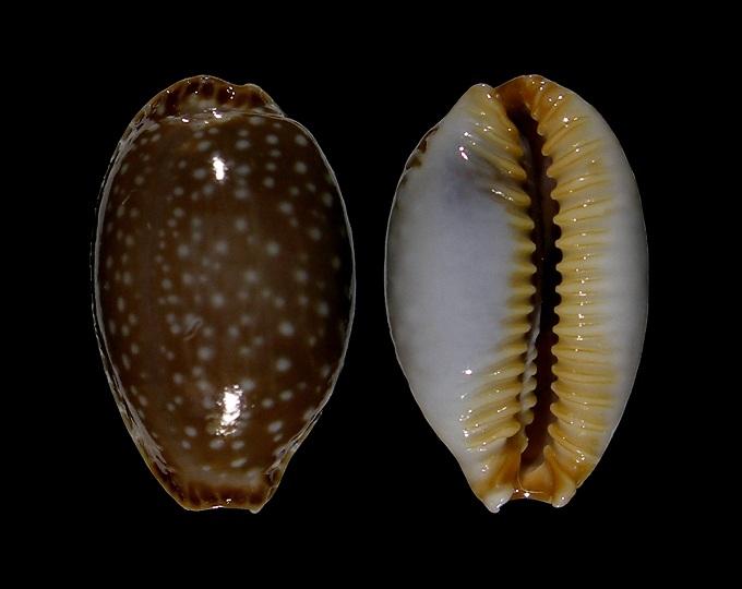 Picture of Staphylaea semiplota