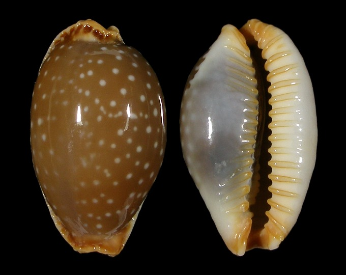 Picture of Staphylaea semiplota