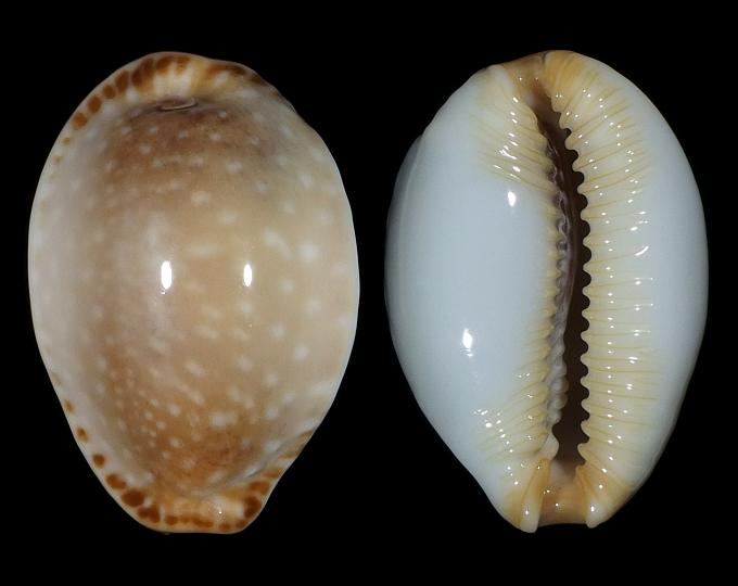 Image of Staphylaea semiplota f. annae
