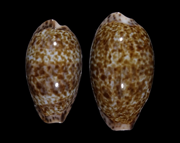 Picture of Pseudozonaria annettae