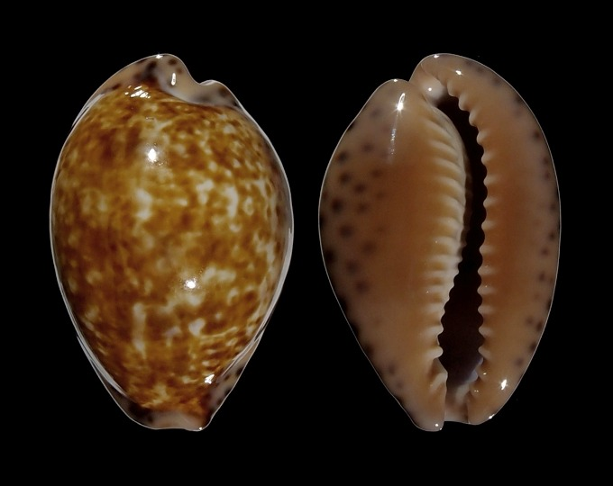 Image of Pseudozonaria aequinoctialis