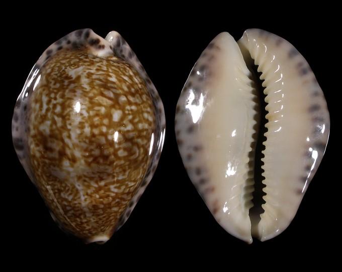 Image of Pseudozonaria arabicula