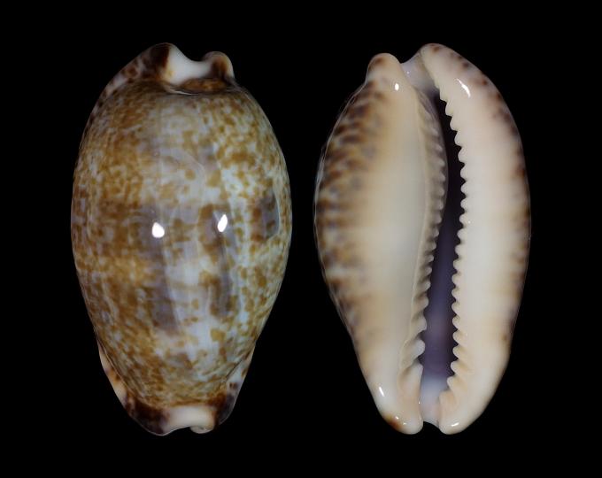 Picture of Pseudozonaria nigropunctata