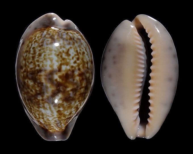 Image of Zonaria zonaria var.