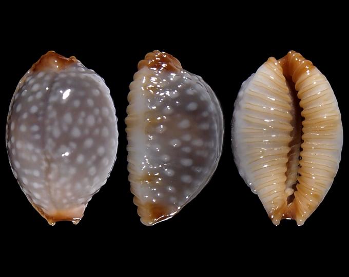 Image of Staphylaea staphylaea consobrina
