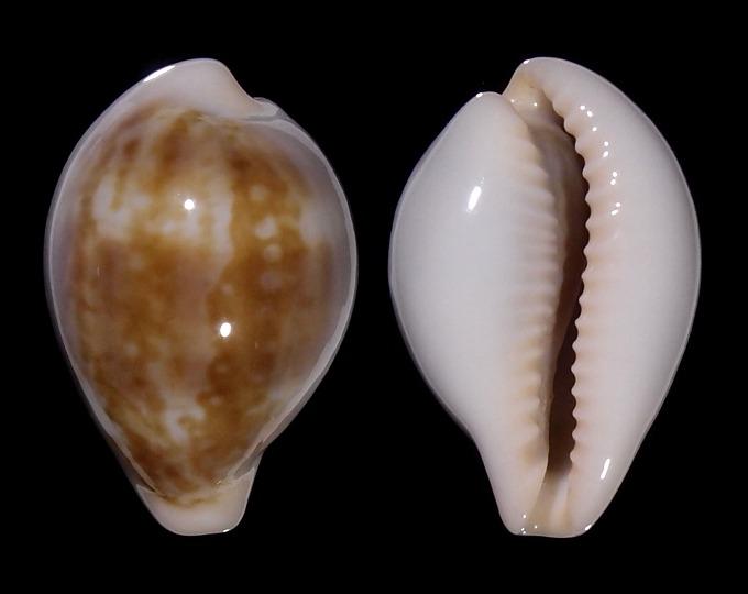 Image of Zonaria angelicae
