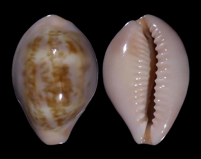 Image of Zonaria angelicae f. petiformis