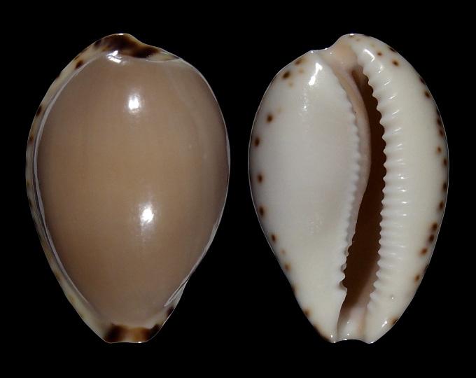 Image of Notocypraea angustata