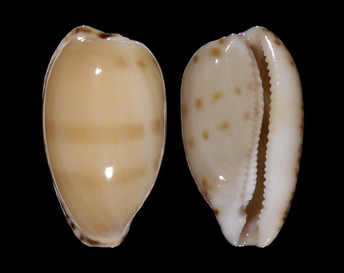 Picture of Notocypraea comptonii comptonii