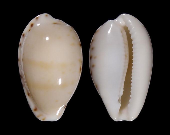 Image of Notocypraea comptonii f. mayi