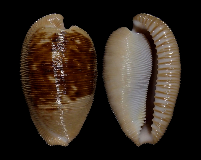 Image of Cypraeovula capensis capensis