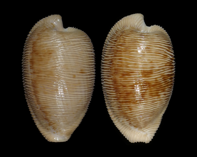 Picture of Cypraeovula capensis capensis
