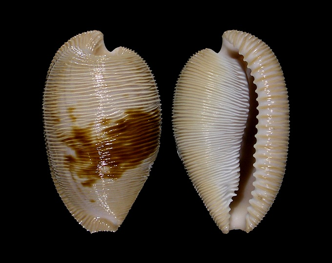 Picture of Cypraeovula capensis gonubiensis