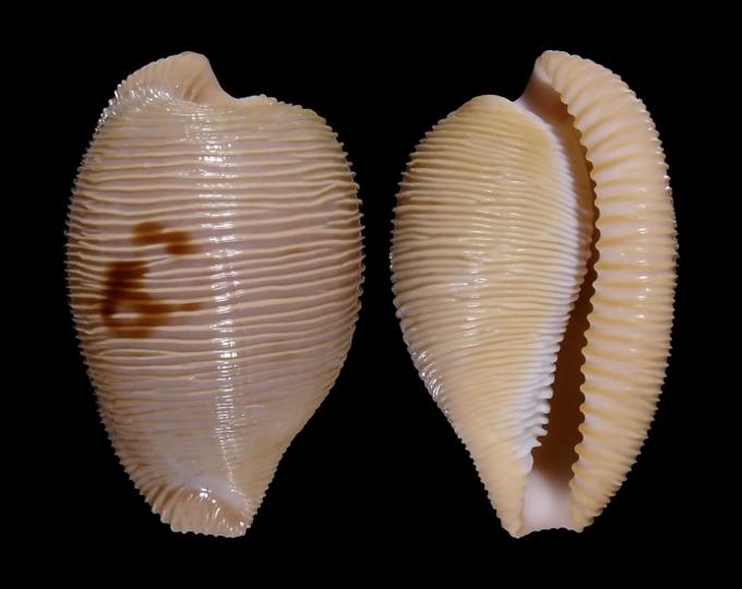 Picture of Cypraeovula capensis profundorum
