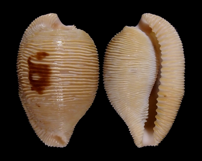 Picture of Cypraeovula capensis profundorum