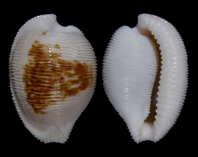 Image of Cypraeovula capensis cineracea