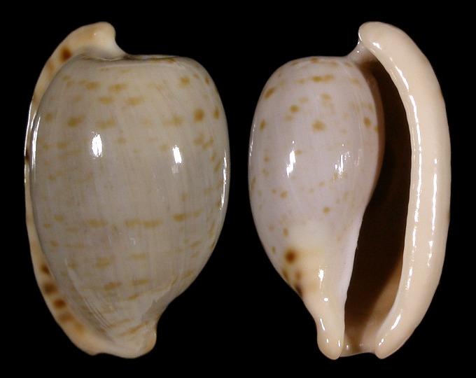 Image of Cypraeovula alfredensis alfredensis