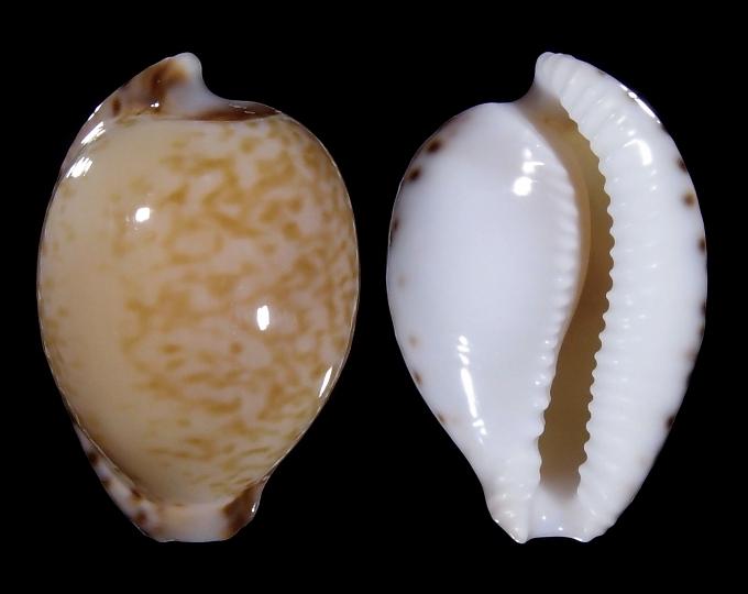 Image of Cypraeovula algoensis algoensis