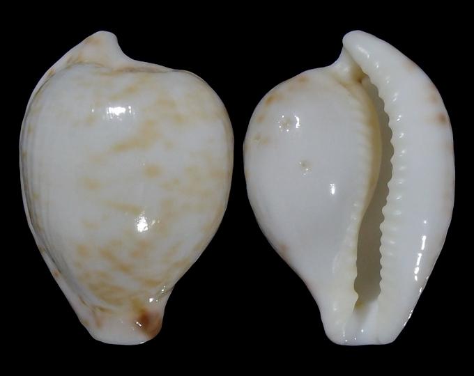 Image of Cypraeovula algoensis algoensis f. bettyensis