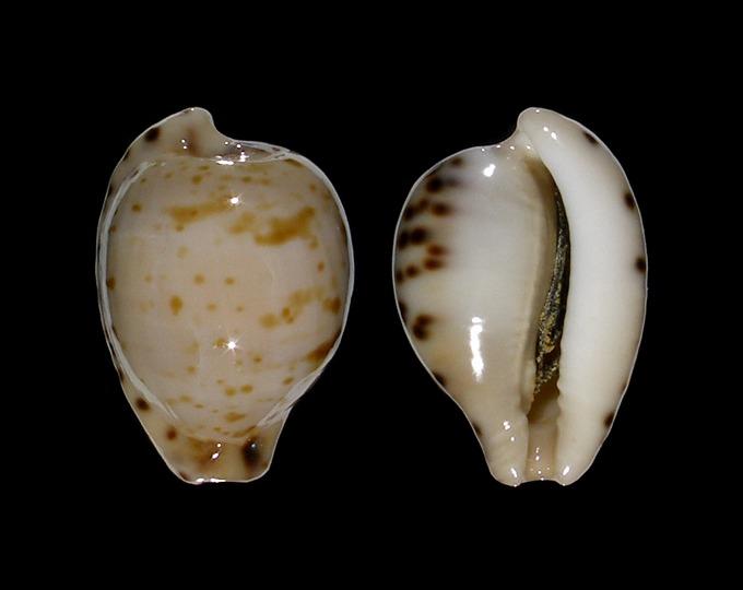 Picture of Cypraeovula algoensis permarginata f. sanfrancisca