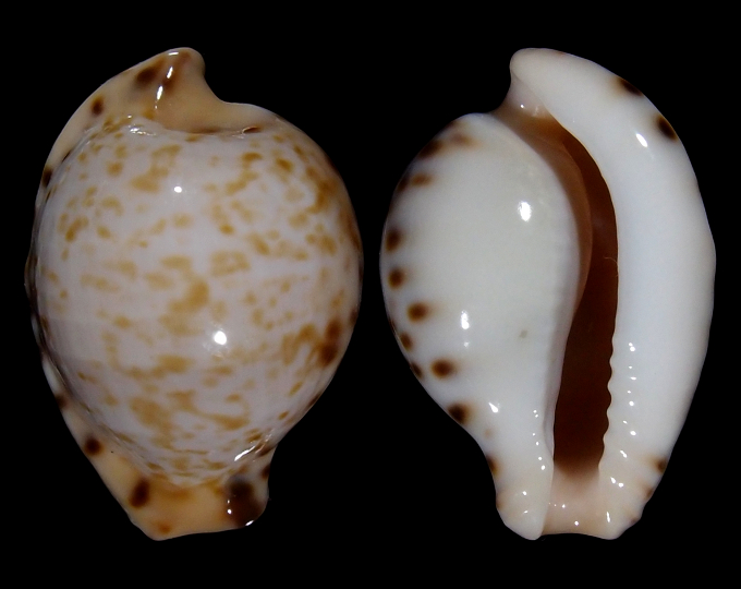 Image of Cypraeovula algoensis permarginata f. sanfrancisca
