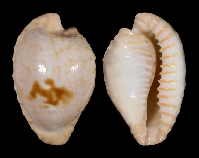 Picture of Cypraeovula coronata coronata