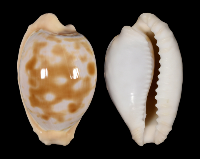 Picture of Cypraeovula coronata debruini