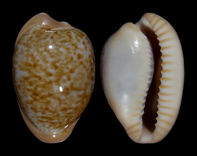 Picture of Cypraeovula fuscorubra fuscorubra
